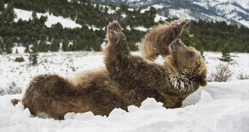 在雪地撒欢的动物 有没有融化你冰冷的心
