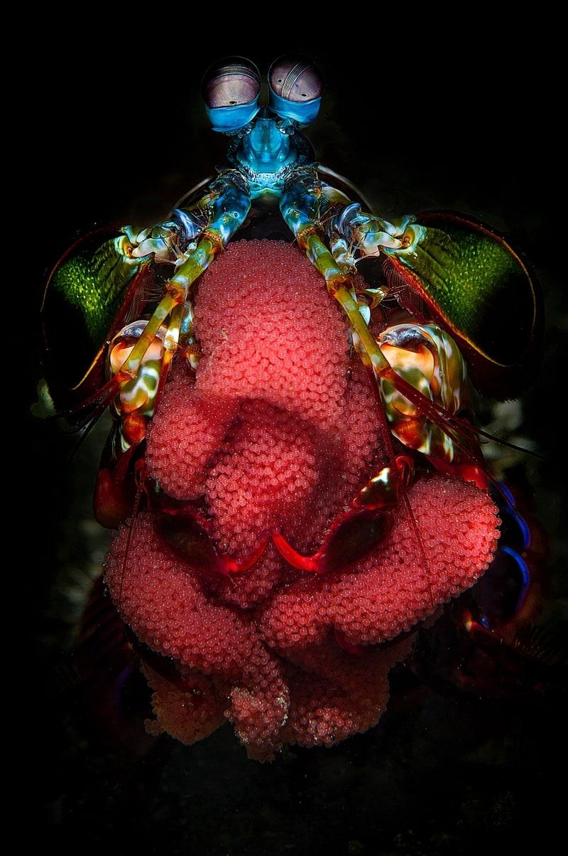 水生生物组冠军螳螂妈妈》 摄影师:Filippo Borghi(意大利)